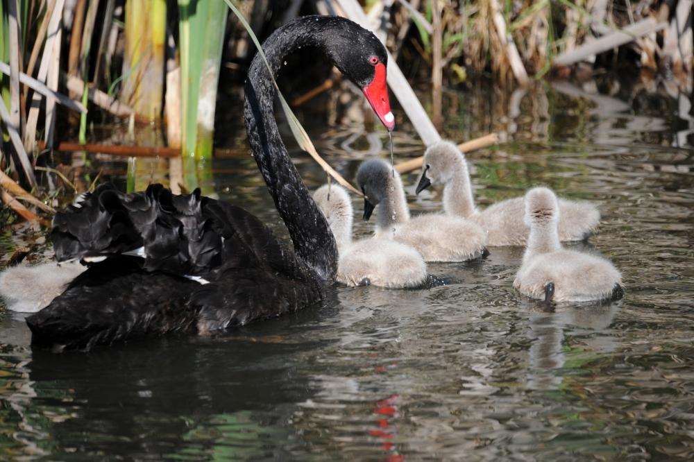 Black Swan Baby