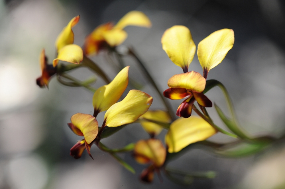 Donkey Orchid
